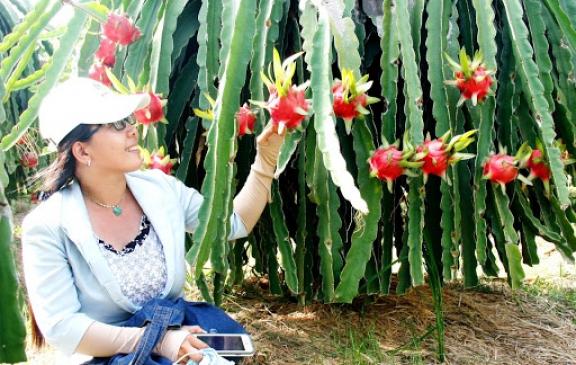 Tham quan Vườn thanh long Lai Vung – Đồng Tháp